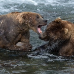 Katmai_Bears_2016__DSC6034 Altercation 2