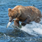 Katmai_Bears_2016__DSC6286 Bear with fish 2