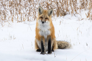 mammals_2016_dsc6987-red-fox-sitting