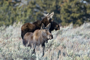 mammals_2016_dsc7086-cow-moose-and-babe